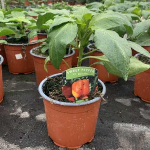 Sweet Pepper 'Delirio' Plant