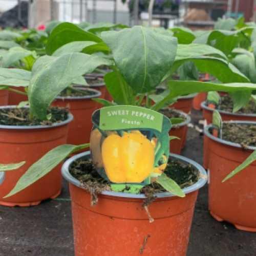 Sweet Pepper 'Fiesta' Plant