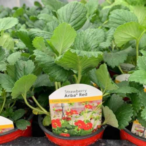 Strawberry Ariba Red Plant