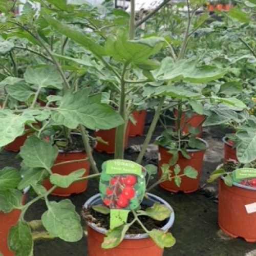 Tomato 'Sweet Aperitif' Plant