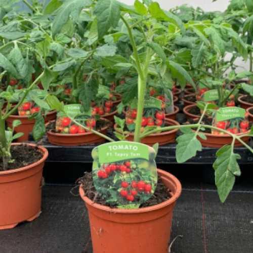 Tomato 'Topsy Tom' Plant