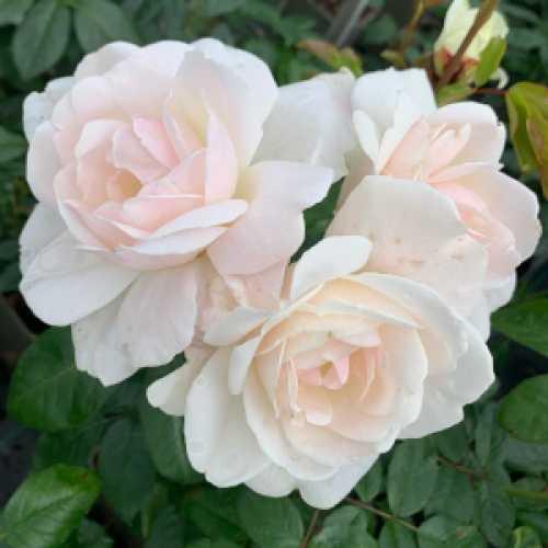 Floribunda Rose Helga 3Ltr