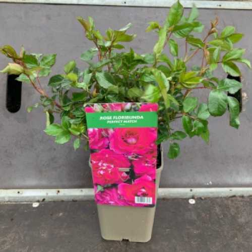 Perfect Match Floribunda Rose 3Ltr