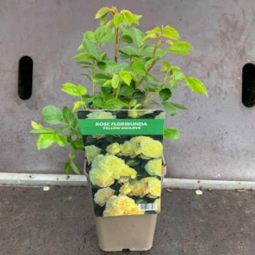 Yellow Meilove Floribunda Rose 3Ltr