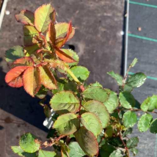 Thank You Floribunda Rose 3L