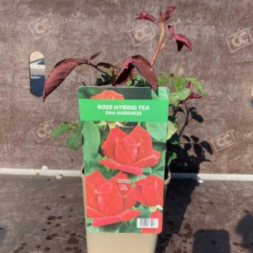 Ena Harkness Hybrid Tea Rose 3Ltr