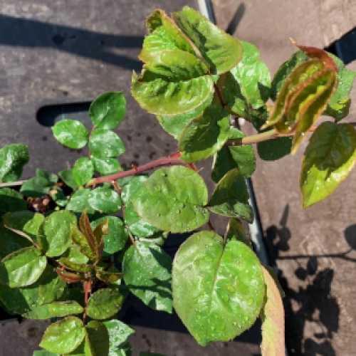 Gold Medal Hybrid Tea Rose 3L
