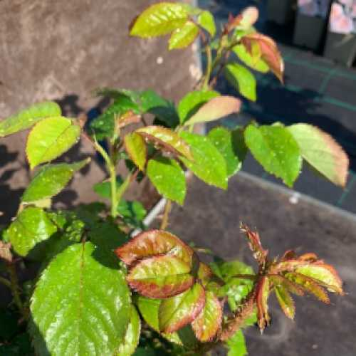 Ruby 40th Anniversary Hybrid Tea Rose 3L