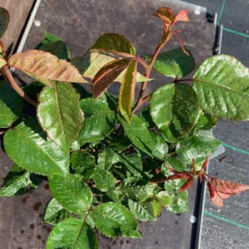 True Love Hybrid Tea Rose  3L