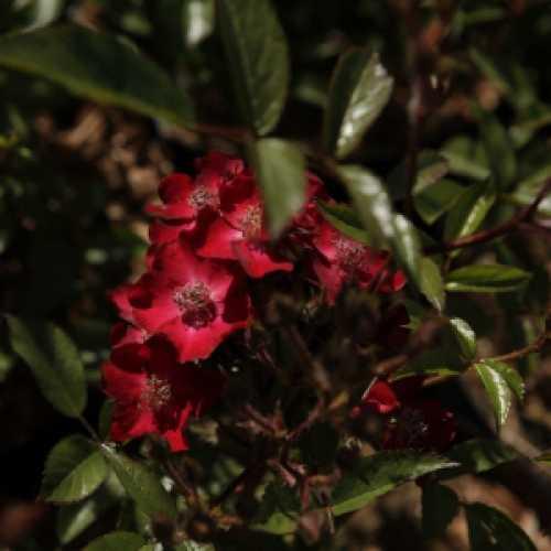 'Beethoven' Shrub Rose 3.6L