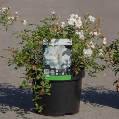 'White Fairy' Shrub Rose 3.6L