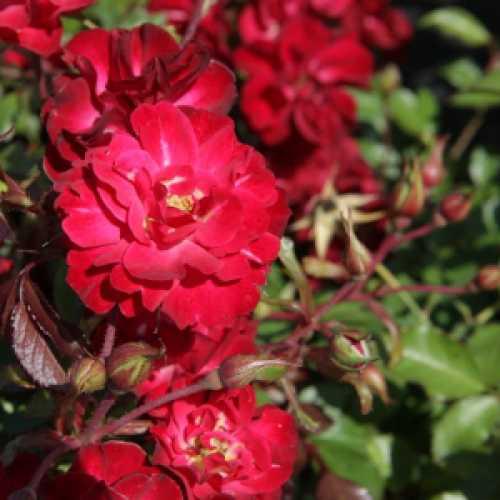 'Mystic Fairy'  Easy Elegance Shrub Rose 3.6L