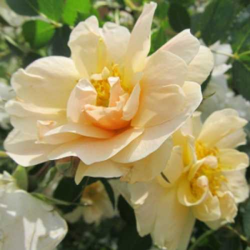 'Above and Beyond'  First Editions Climbing Rose 3.6L