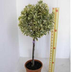 Euonymus Japonicus Aureomarginatus 1/2 Standard 90cm Clear Stem, 35-40cm Head,