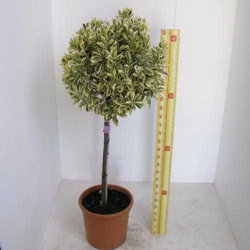 Euonymus Japonicus 1/2 Standard 90cm Clear Stem, 35-40cm Head, 18.5Ltr Pot