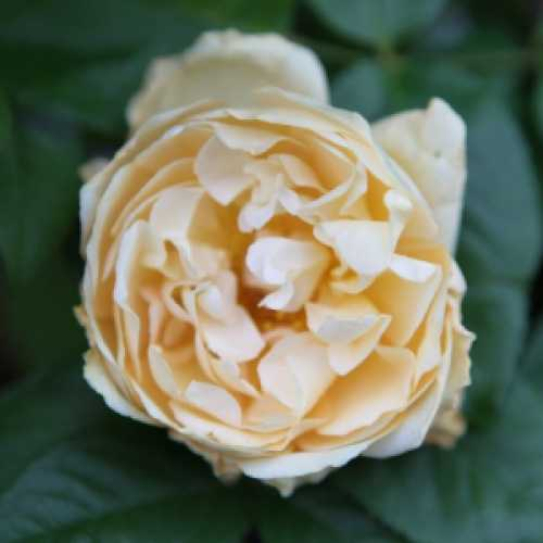 'Buff Beauty' Climbing Rose 4L