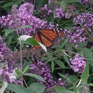 Buddleia Davidii Ile De France (Butterfly Bush)