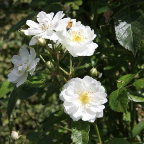 Garland Of Love Climbing Rose 4ltr