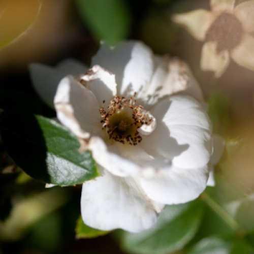Hella Climbing Rose 4ltr