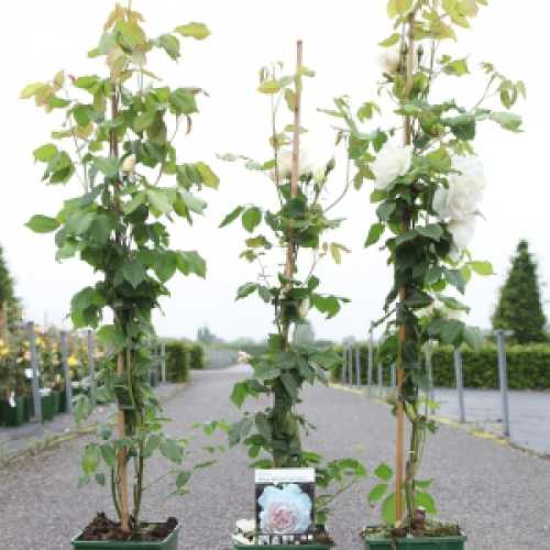 Mrs Alfred Carriere Climbing Rose 4ltr