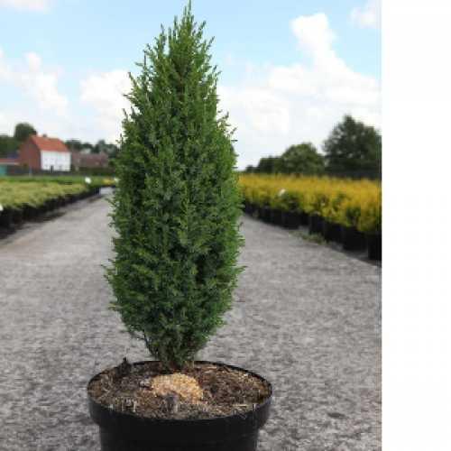 Juniperus (Juniper) Communis Compressa