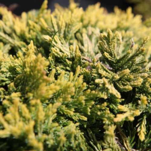 Juniperus (Juniper) Horizontalis Golden Carpet Creeping Juniper