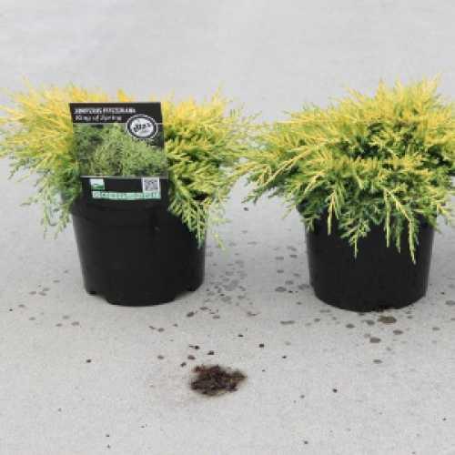 Juniperus (Juniper) Pfitzeriana King of Spring