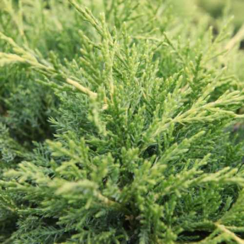 Juniperus (Juniper) Pfitzeriana Old Gold