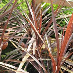 Cordyline Red Star 12L