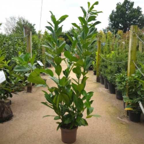 Prunus Rotundifolia (Laurel) Hedging 3ltr Pot 90-120cm