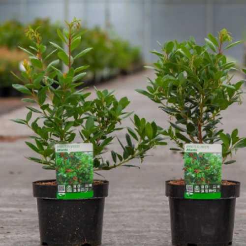 Arbutus Unedo Atlantic Strawberry Tree
