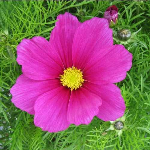 Cosmos (Deep Pink) 3 Ltr