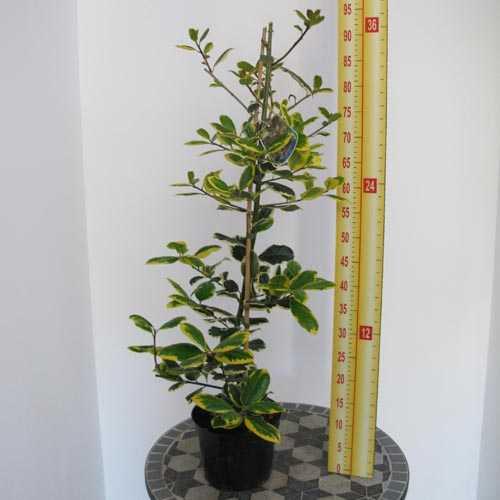 Ilex altaclerensis 'Golden King' Holly 3 Ltr