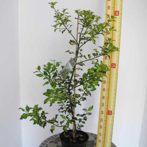 Ilex Aquifolium 'Northern Lights' (Holly) 2 Ltr