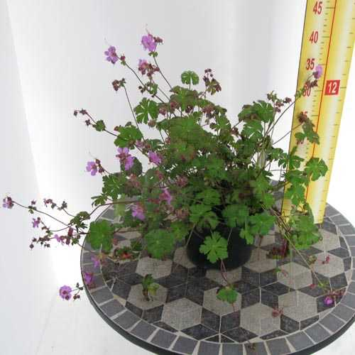 Geranium Cantabrigiense 'Karmina' (Cranesbill) 2Ltr