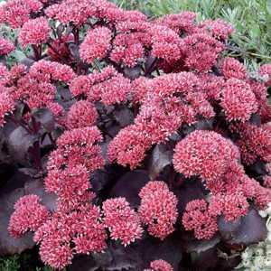Cheap Sedum Black Beauty Cheap Sedum Plants Online Buy
