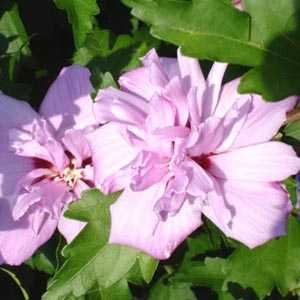 Hibiscus syriacus 'Ardens' (Rose of Sharon)