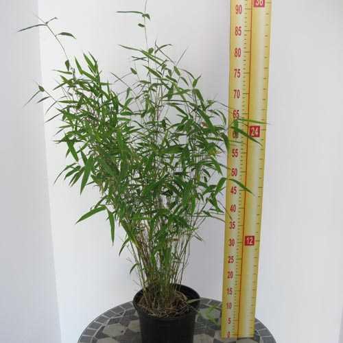 Fargesia Murielae 'Novecento' Bamboo 3Ltr
