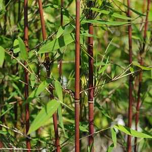 Fargesia Nitida 'Jiuzhaigou' Red Caned Bamboo 6ltr