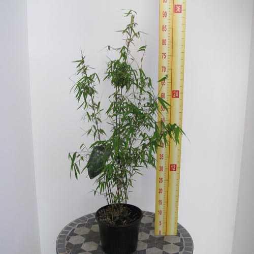 Fargesia Nitida 'Jiuzhaigou' Red Caned Bamboo
