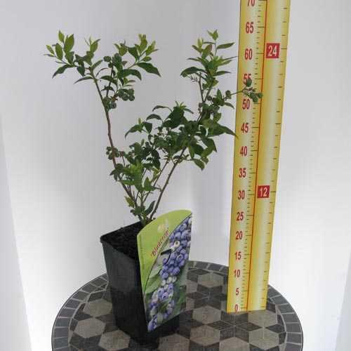 Vaccinium Corymbosum 'Bluecrop' (Blueberry Superfruit)