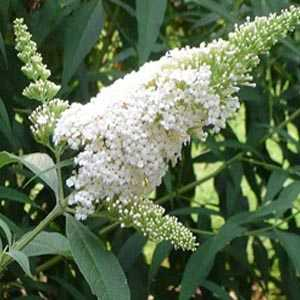Buddleia davidii White Profusion Buddleja (Butterfly Bush)
