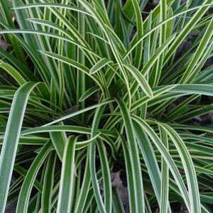 Carex Morrowii 'Ice Dance' (Sedge)