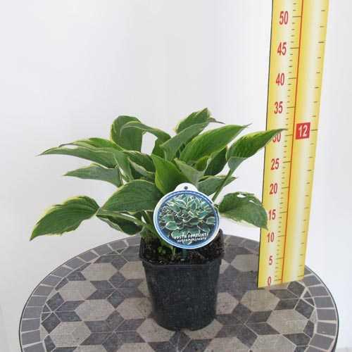 Hosta Fortunei 'Aureomarginata' (Plantain Lily