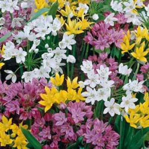 Allium Bulbs Mixed 50 Per Pack