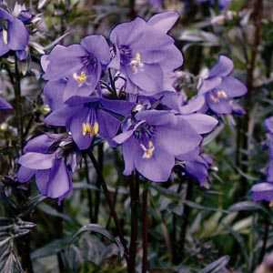 Polemonium Bressingham Purple Jacobs Ladder