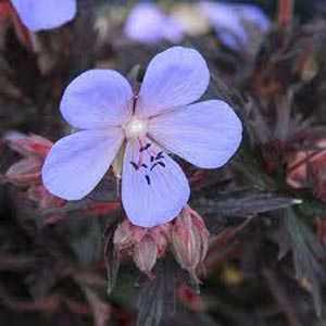 Geranium pratense 'Black Beauty' (Cranesbill 'Black Beauty') 3Ltr