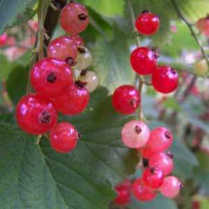 Redcurrant Rolan (Ribes Rubun) 4Ltr