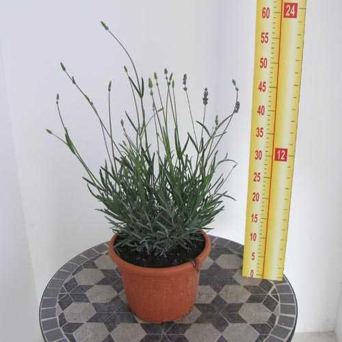 Lavender - Lavandula Officinalis/Angustifolia  (Blue Flower) 3ltr