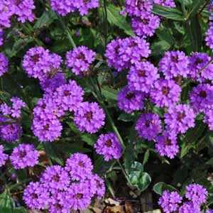 Verbena Rigida (Veined Verbena) 3 Ltr